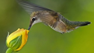 Ruby-throated-female-discussion