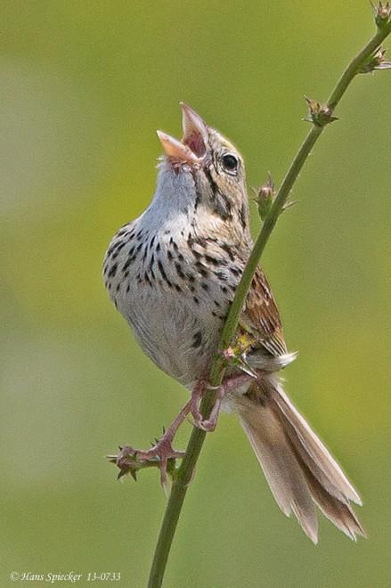 Sparrow-Henslows-13-0733