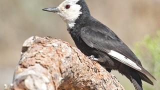White-headed Woodpecker, photo by Steve Wolfe