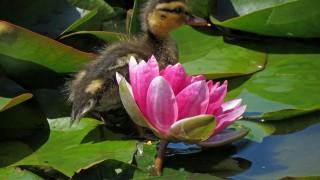 mallard-duckling