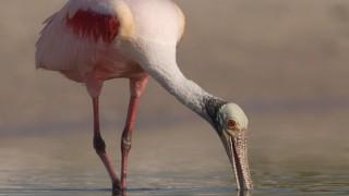 Roseate Spoonbill feeding in a quiet lagoon