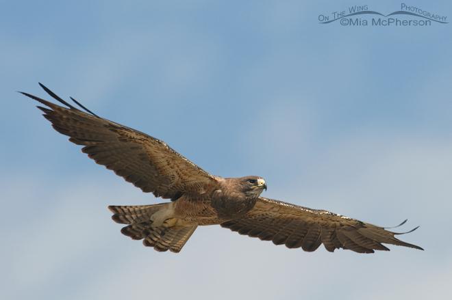 swainsons-hawk-adult-montana-flight-mia-mcpherson-9144
