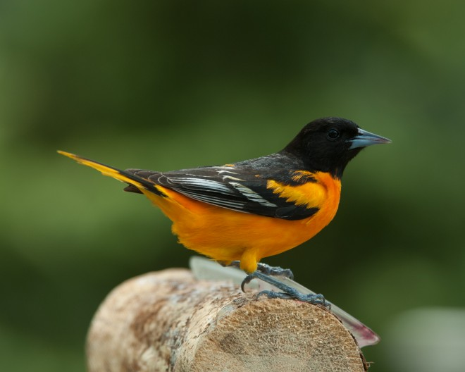 Baltimore Oriole by Janet Crouch
