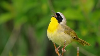 20130607_9407-common-yellowthroat