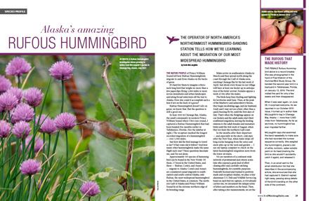 Alaska's amazing Rufous Hummingbird