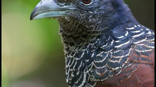 Banded Ground-Cuckoo (Neomorphus radiolosus)