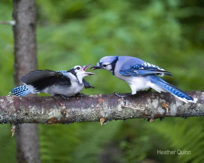 Blue-Jays