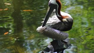 Brown-Pelican1