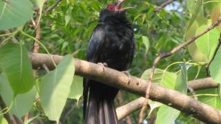 Cuckoo-Koel