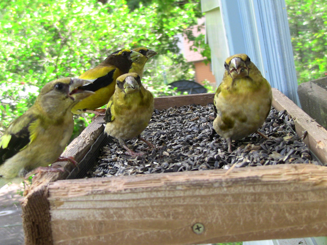 What's the best distance for bird feeders? Hungry Evening Grosbeaks gather on a window-mounted feeder. Photo by Laura Erickson.