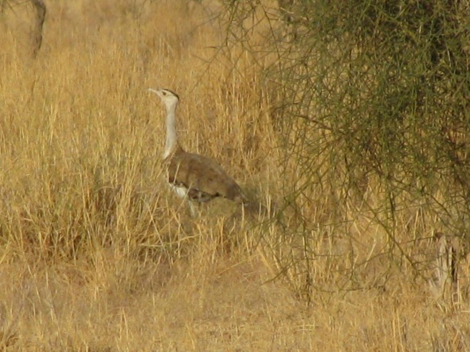 Great-Indian-Bustard