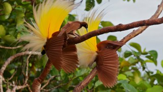 A female Greater Bird-of-Paradise at Wokam, Aru Islands, scrutinizes one of two adult males that have positioned themselves in the head-down static pose that characterizes a peak moment of their courtship display. Photo by Tim Laman.