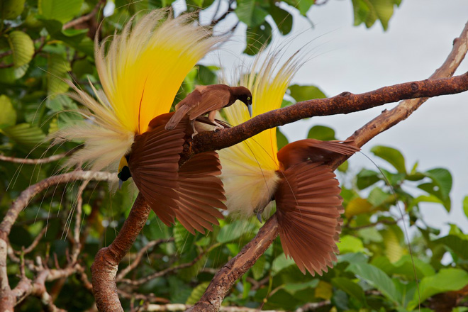 Extravagance Explained Why Birds Of Paradise Are The Way They Are