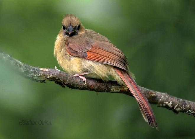 Juvenile-Cardinal