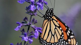 Monarch butterfly in Central Park, New York, October 2007, photo by Paul Stein (Creative Commons)