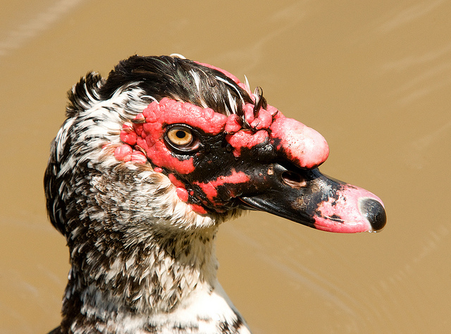 Why the introduced Muscovy Duck is a protected species, sort of