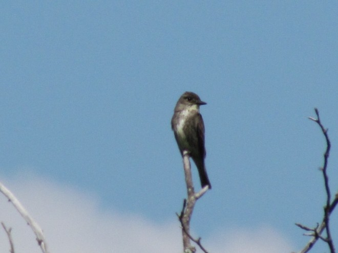 Olive-sided-Flycatcher
