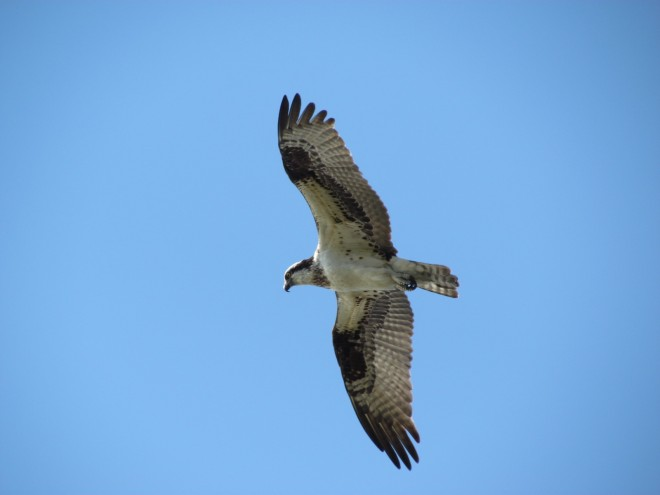 Osprey-lake-hunter