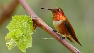 Rufous Hummingbird by Mike Wisnicki.