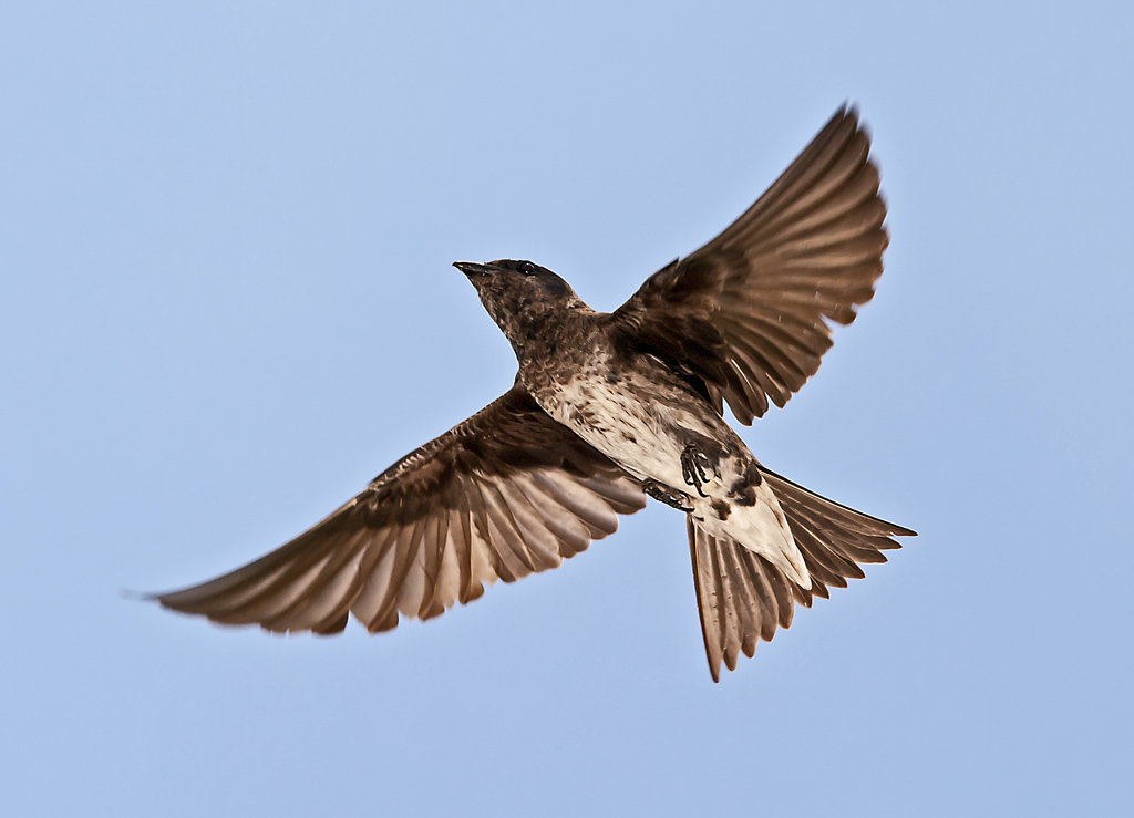 Purple Martins in Omaha: A chaotic, thrilling scene