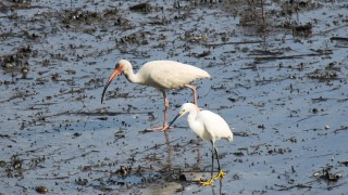 Snowy-Egret-and-White-Ibis
