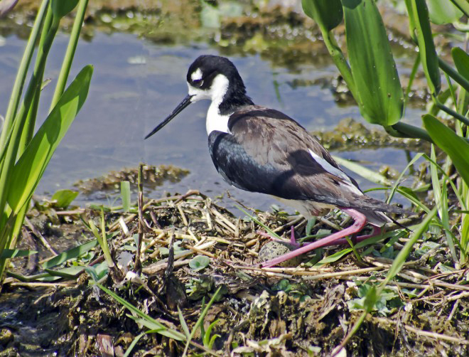 Secret life of birds: Black-necked Stilt lays an egg