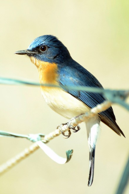 Tickells-Blue-flycatcher