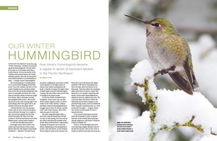 Anna's Hummingbird: Our winter hummingbird