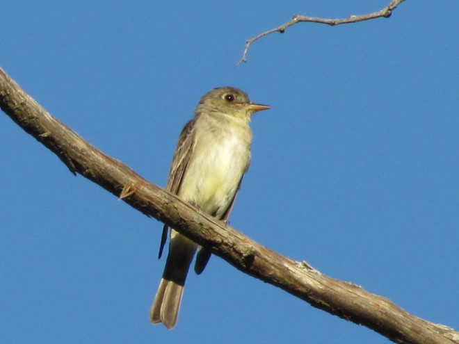 Wood-Pewee-Eastern