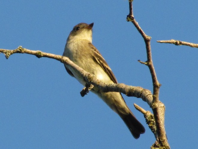 Wood-Pewee.Clark-Res