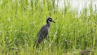 Yellow-crowned-Night-Heron-01