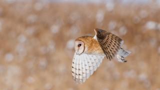 barn-owl-winter-utah-mia-mcpherson-9350