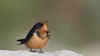 barn-swallow-juvenile-mia-mcpherson-5327