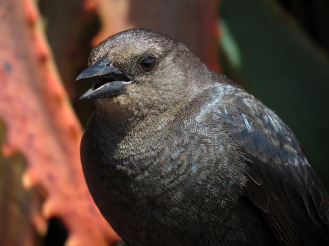 brewers-blackbird