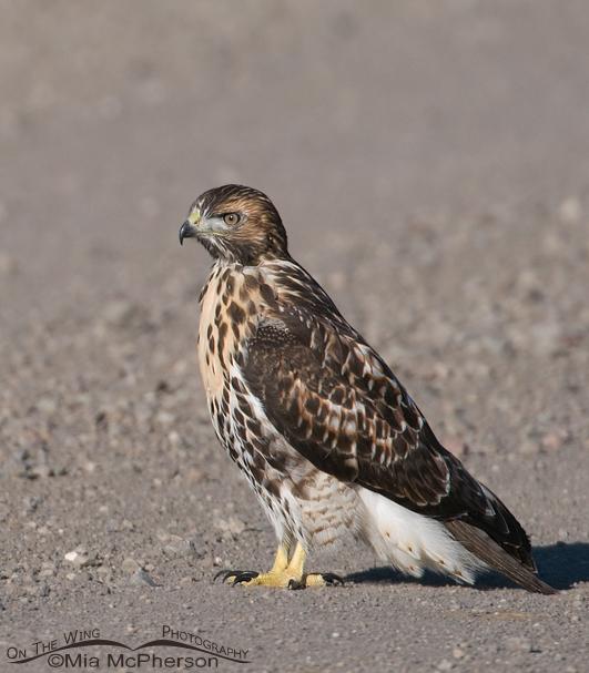 red-tailed-hawk-juvenile-mia-mcpherson-6351