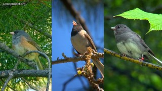 three-forms-of-junco