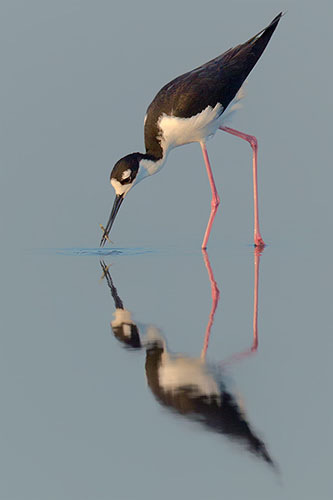 Black-necked Stilt with Reflection