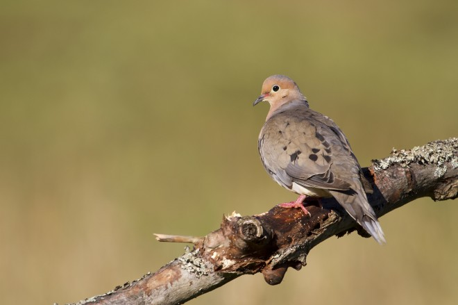 BeanFriend_mourning_dove_2