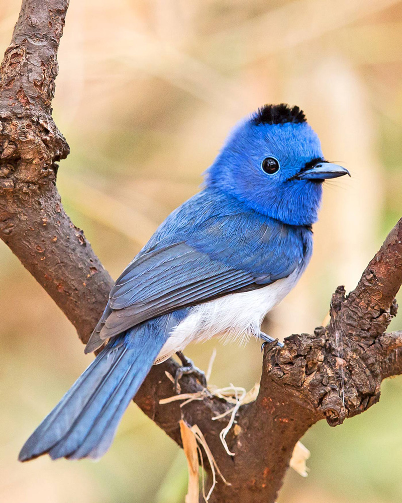 Photo Of The Week Black Naped Monarch Birdwatching
