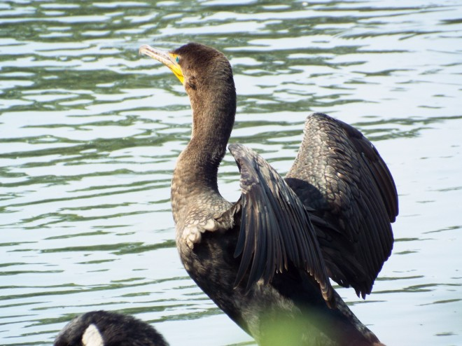 Cormorant-Wing-Original1