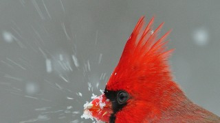 DSC_0164-Cardinal-Head-Square-w-copyright