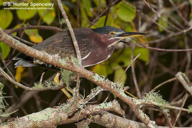 DSC_2368-Green-Heron