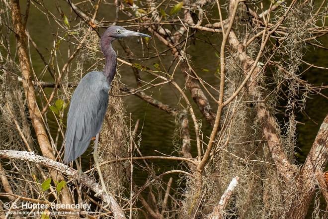 DSC_2484-Little-Blue-Heron