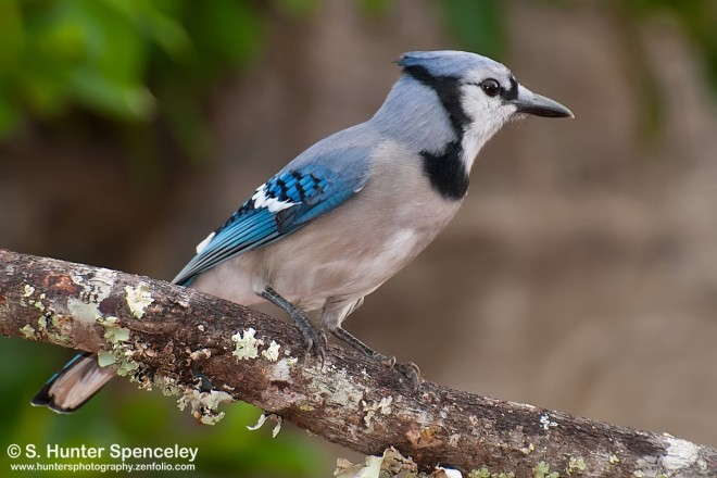 Blue Jay photographed in Spring Hill, Florida, by S. Hunter Spenceley.