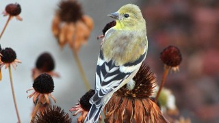 Goldfinch-American-2013-09-22-069