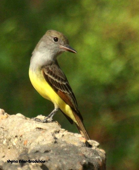 Great-Crested-Flycatcher