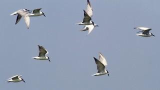 Gull-billed Terns in flight at Pulicat Lake Bird Sanctuary, in Andhra Pradesh, India.