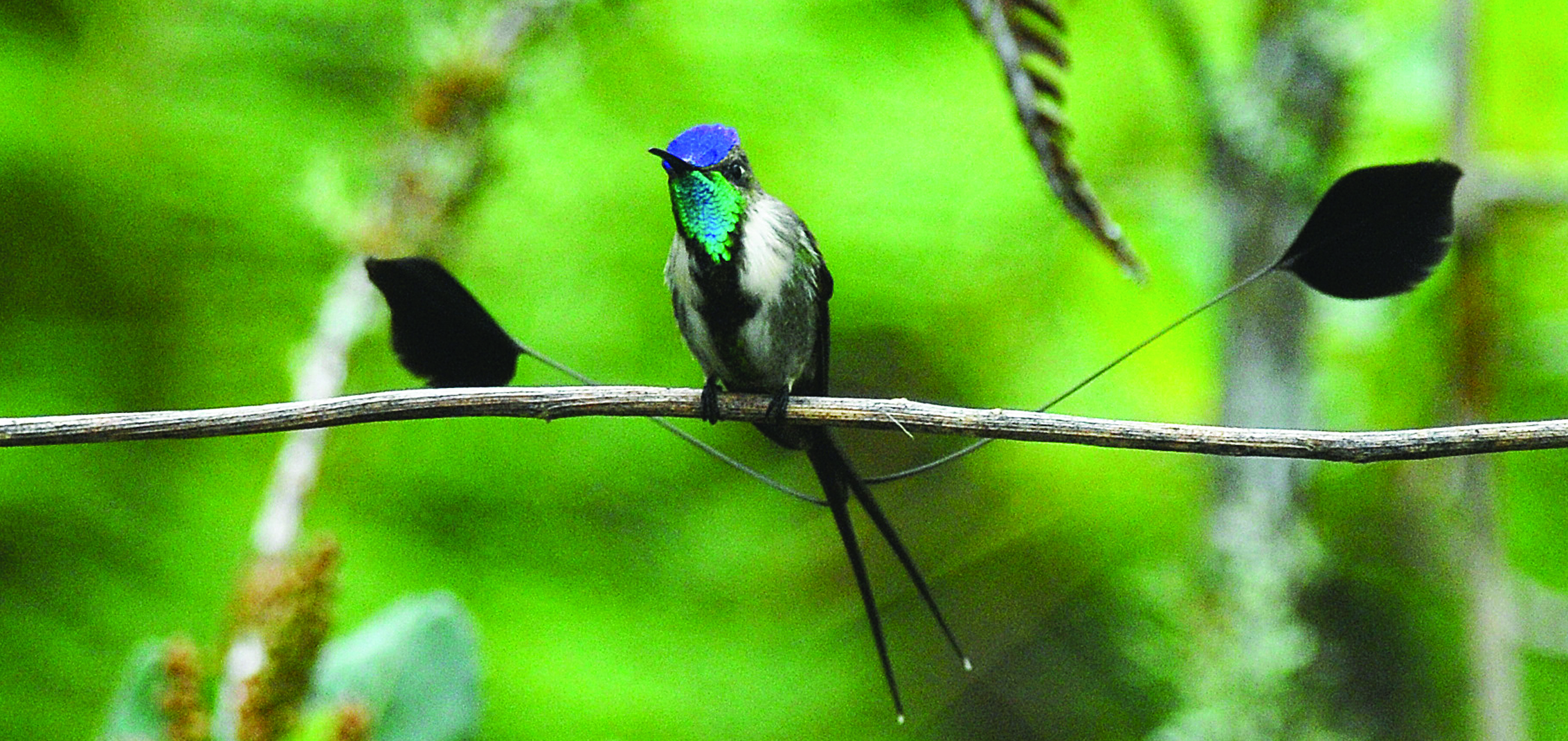 Eye on conservation: An acreage increase for the spectacular Marvelous Spatuletail hummingbird