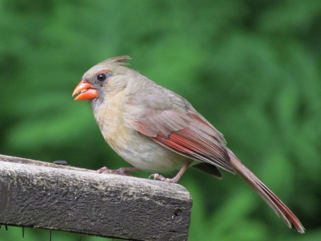 Northern-Cardinal-valley