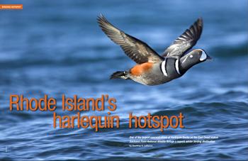 Rhode Island's Harlequin hotspot
